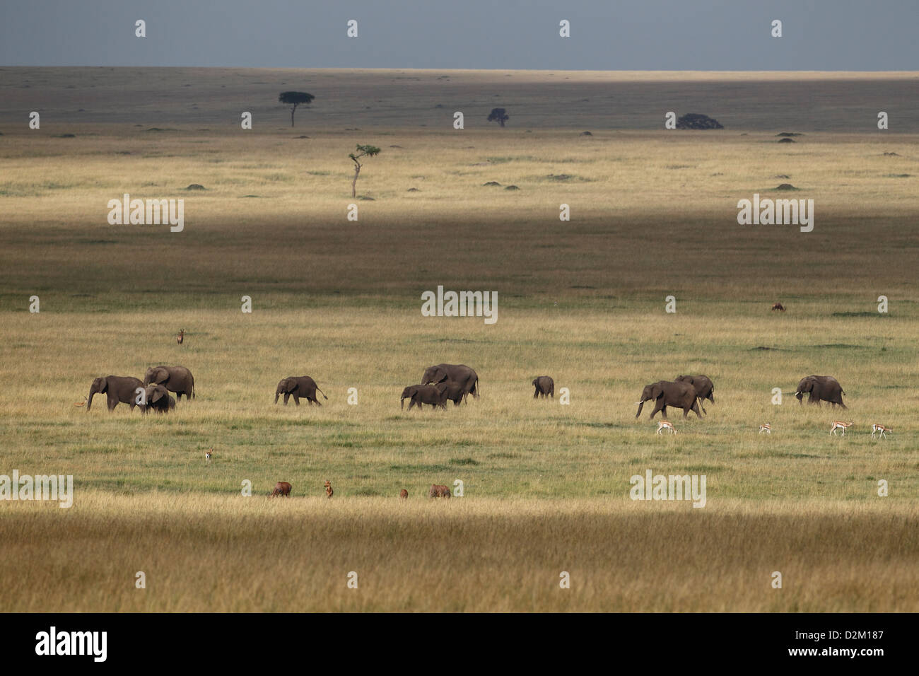 Herd of African elephants in the Masai Mara National Reserve, Kenya. Nice scenery. on open Masai Mara plains. - Stock Image
