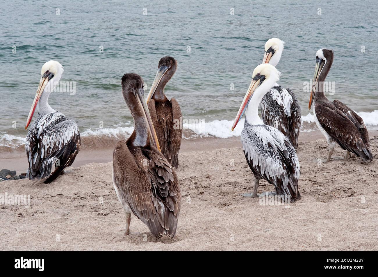 Peruvian Pelican (Pelecanus thagus) adult and juvenile group near threatened Pacific coast Pan de Azúcar National - Stock Image
