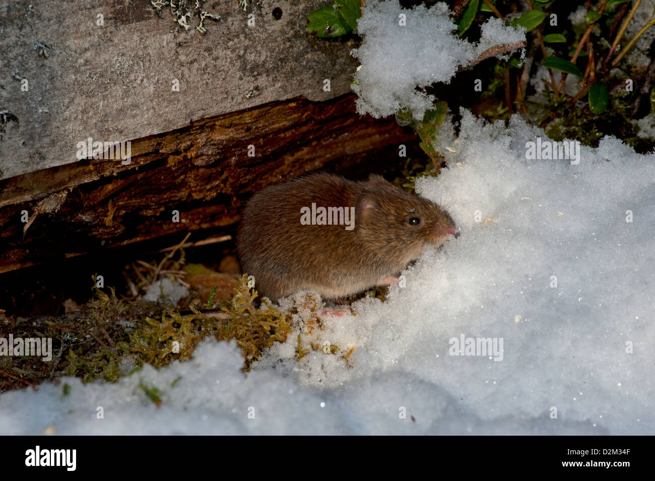 A Bank Vole in winter snow in the  ancient Scottish pine woodland. SCO 8916 - Stock Image