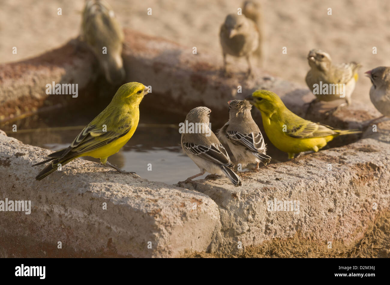 Yellow Canaries and Scaly-feathered Finches drinking at waterhole, Kalahari desert, South Africa - Stock Image