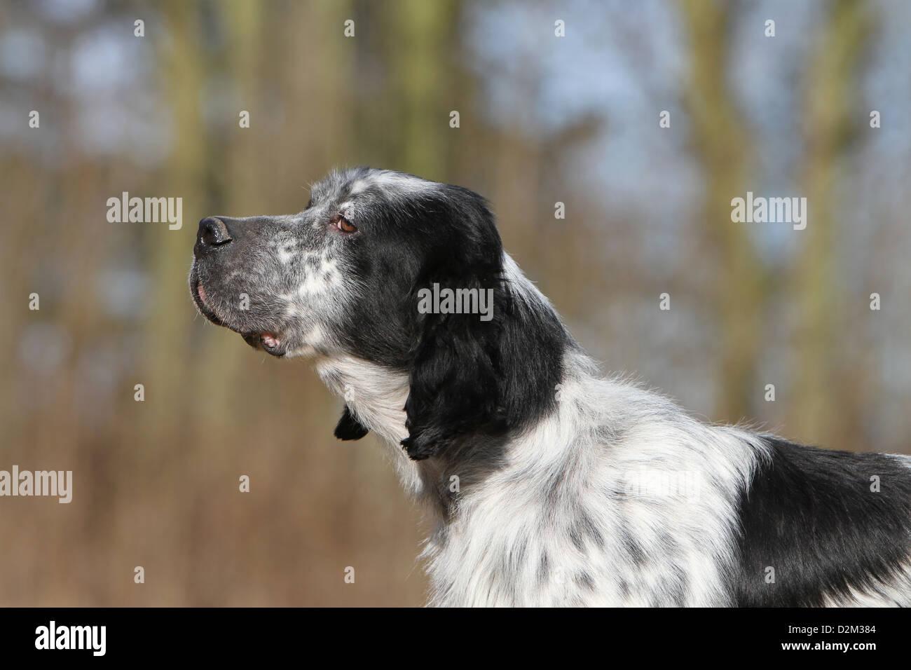 Dog English Setter  adult (blue Belton) portrait profile - Stock Image