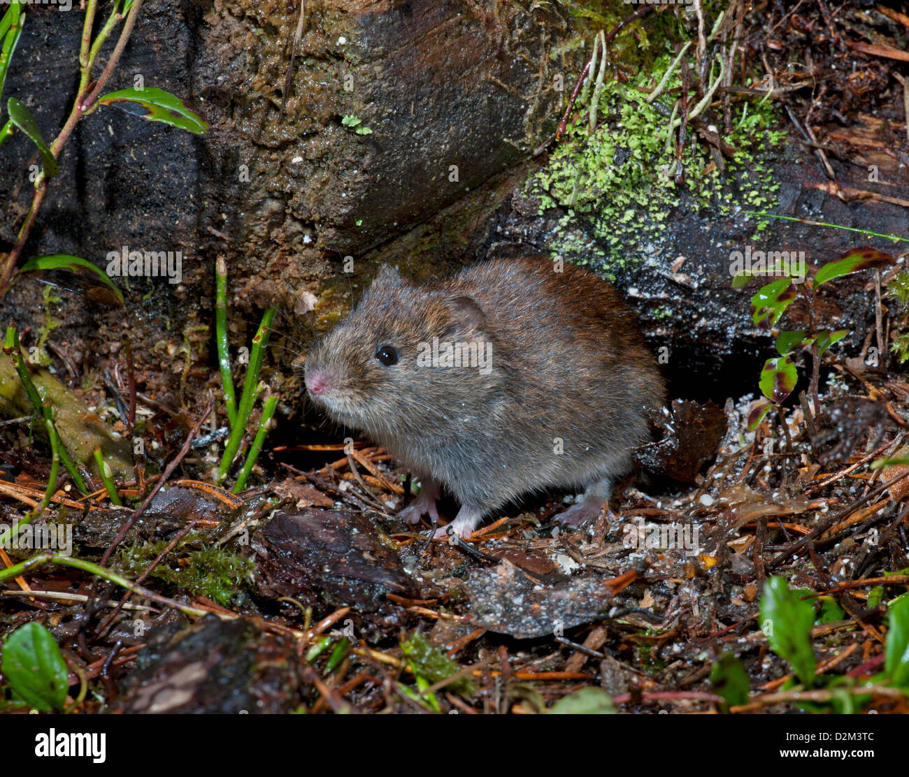 A Bank Vole at home in ancient Scottish pine woodland. SCO 8923 - Stock Image