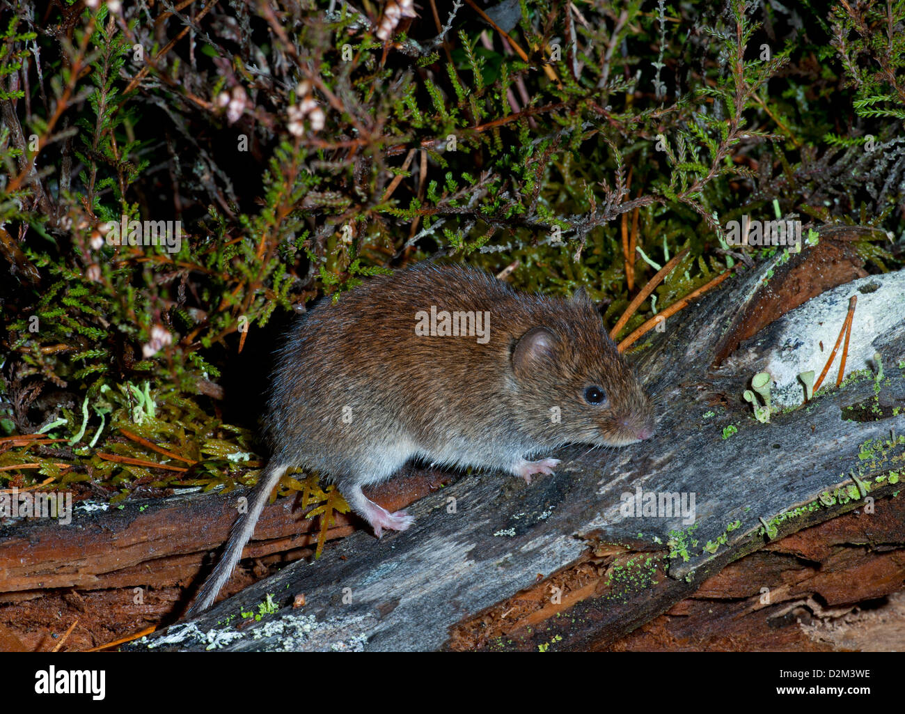 A Bank Vole at home in ancient Scottish pine woodland.   SCO 8824 - Stock Image