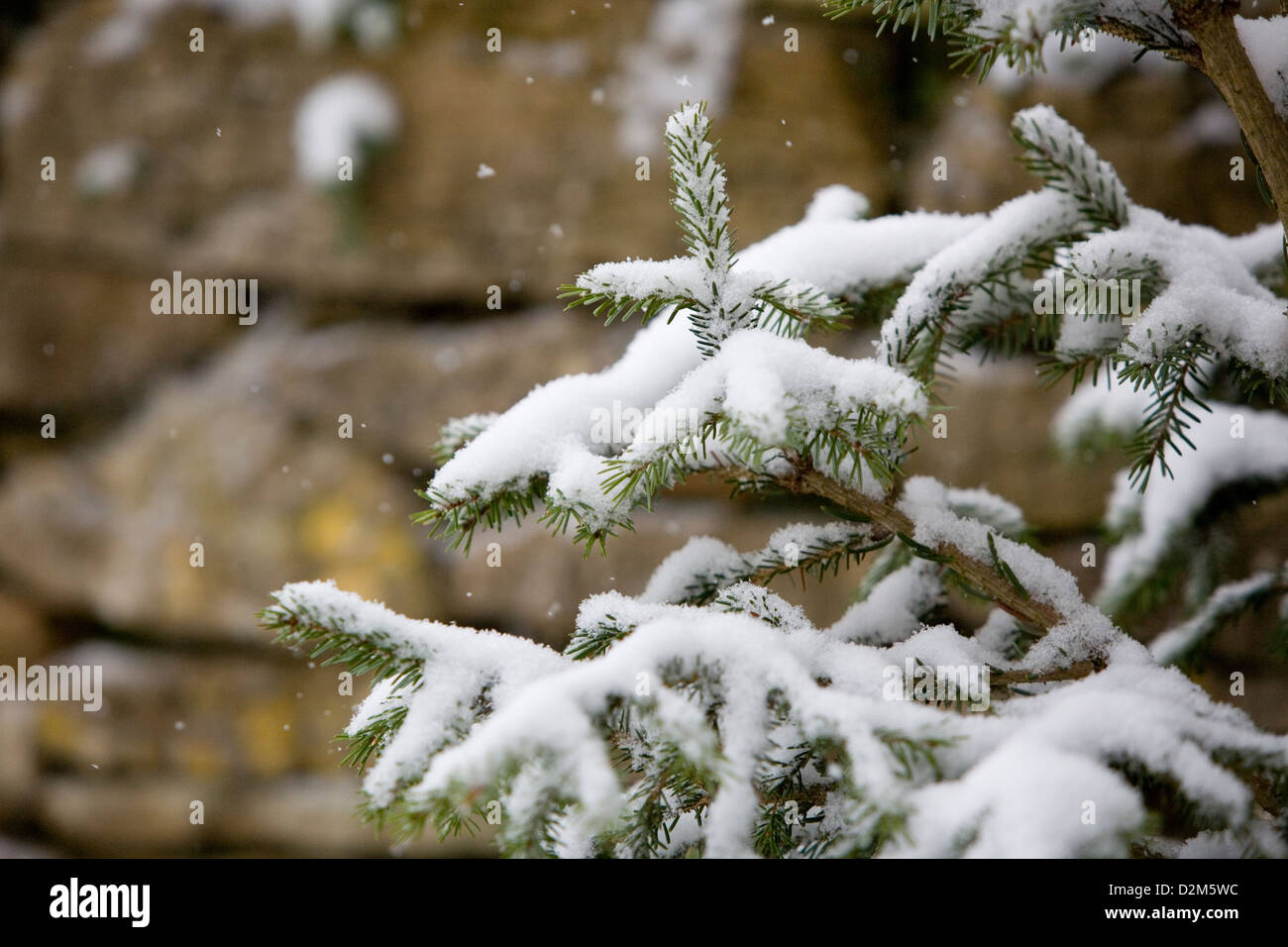 Snow flakes falling on Norway Spruce (Picea abies) Christmas tree with out of focus Cotswold stone wall in background. - Stock Image