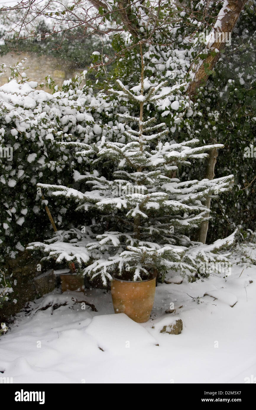 Snow flakes falling on Norway Spruce (Picea abies) Christmas tree with Ivy (Hedera helix) in background. A Snowy - Stock Image
