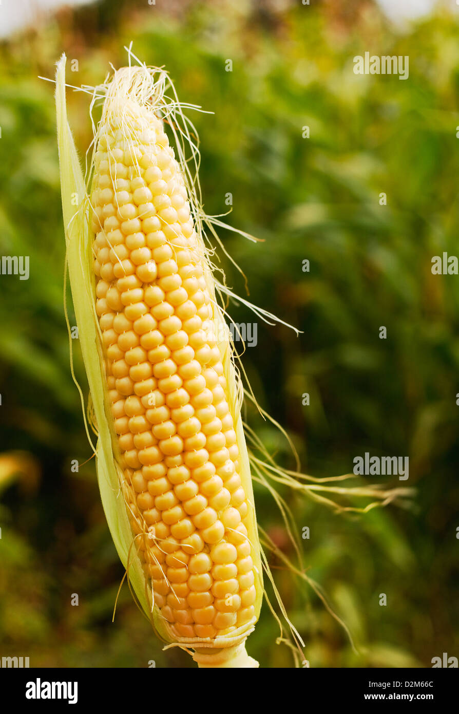 ear of maize or corn a popular farm animal feed or forage now often genetically modified for increased yield. - Stock Image