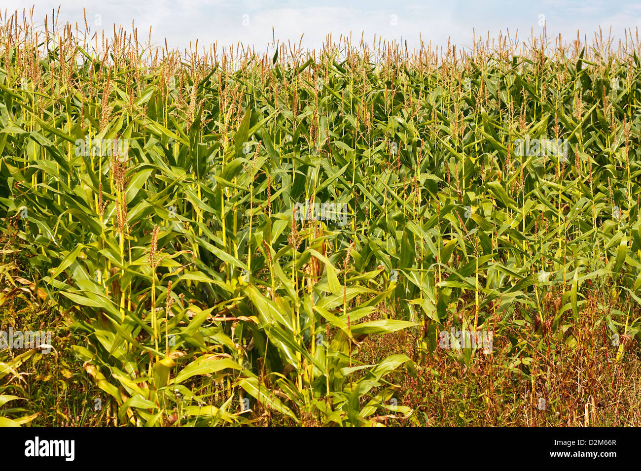 Cattle food crop used for silage and alternatively being used for creating renewable eco friendly biomass fuel - Stock Image