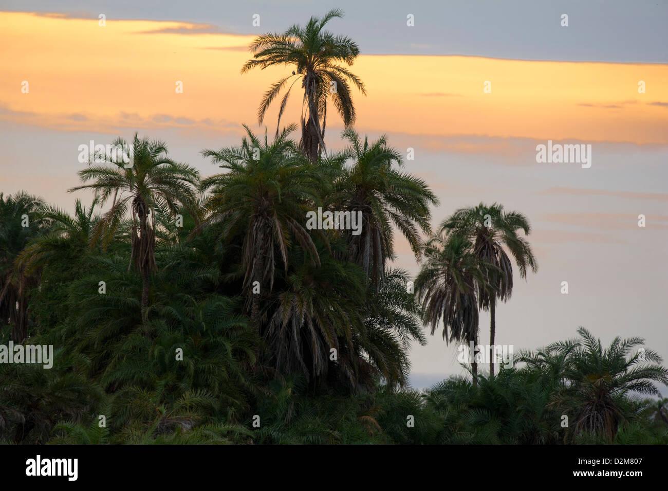 Palm trees at sunset, Amboseli National Park, Kenya - Stock Image