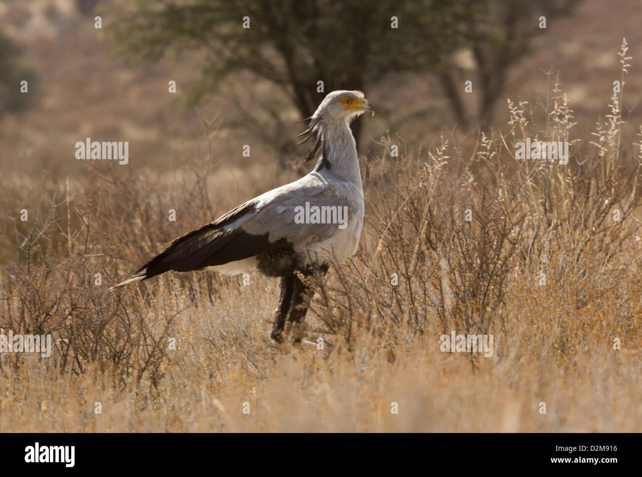 Secretarybird (Sagittarius serpentarius) feeding in dry grassland, Kalahari desert, South Africa Stock Photo