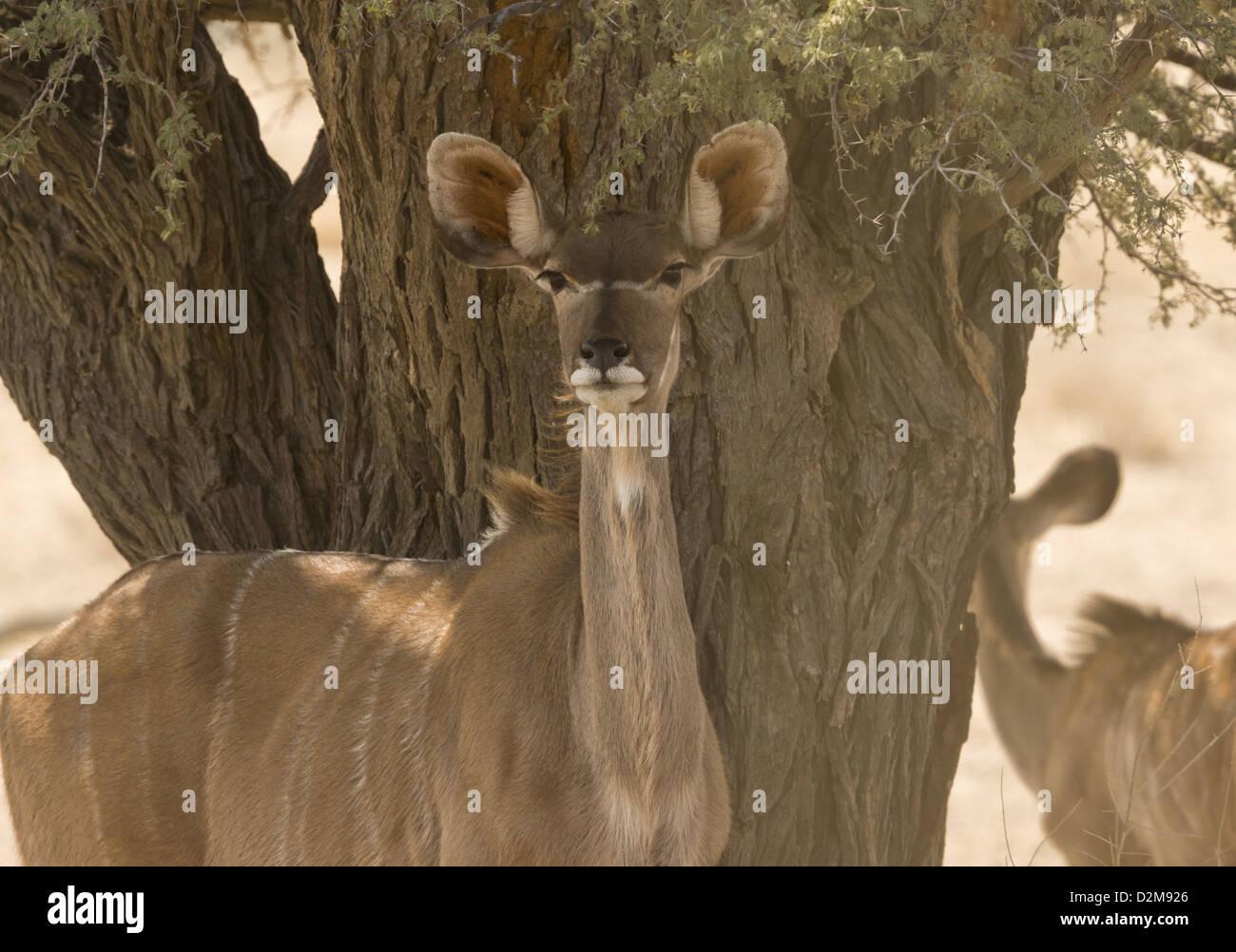 Female Greater Kudu (Tragelaphus strepsiceros) in the Kalahari Desert, South Africa - Stock Image