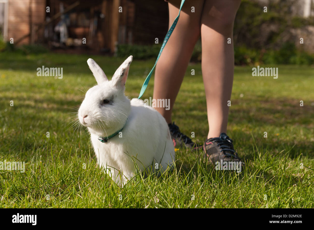Teenager girl walking an English butterfly white rabbit on a lead on a lawn with daisies with harness - Stock Image