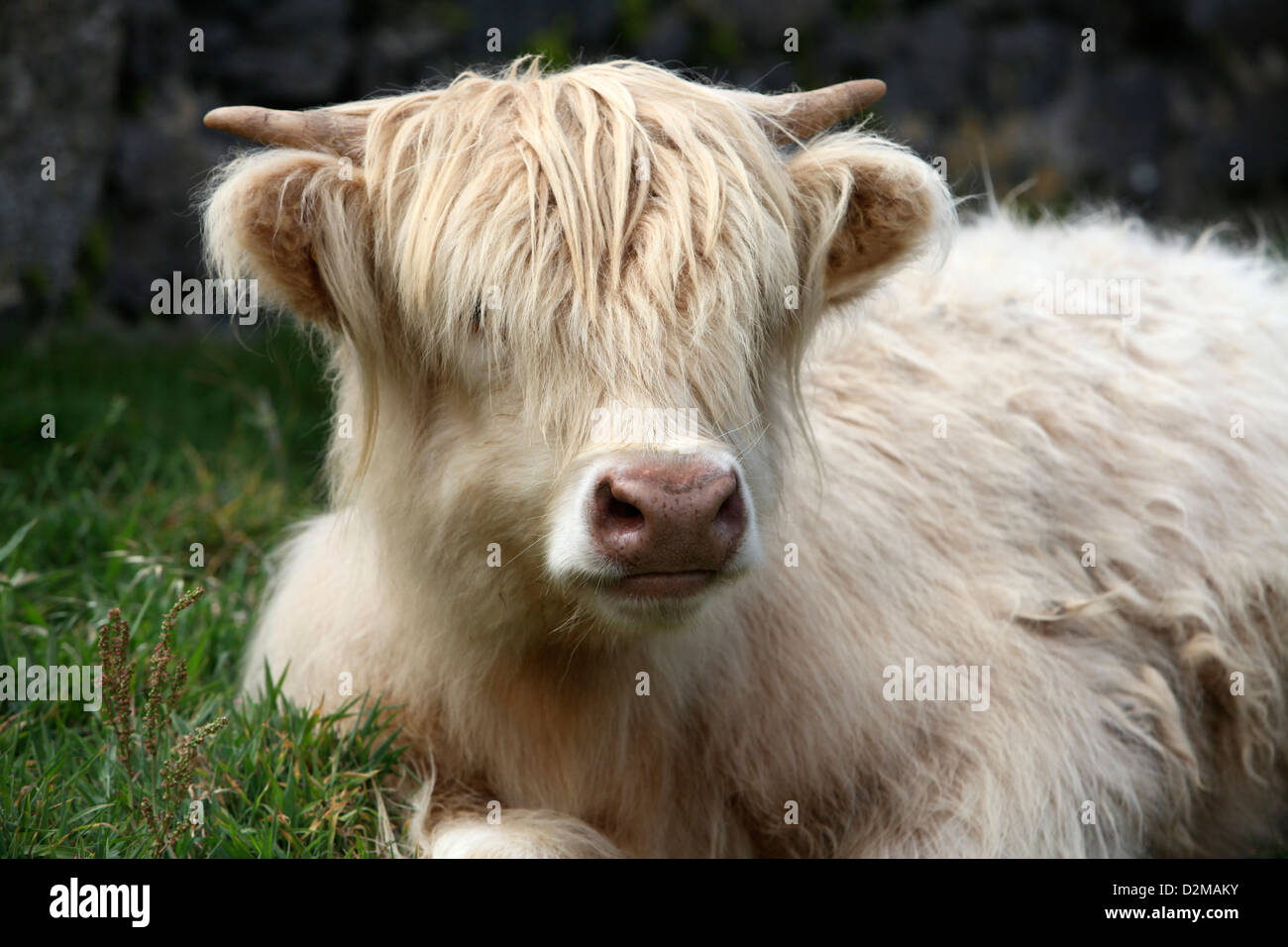 A very tousled Cream coloured Highland Cow - Stock Image