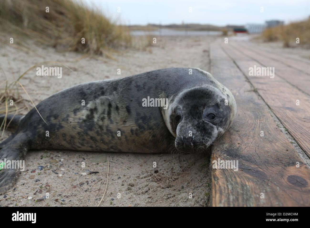 A grey seal pup Halichoerus grypus, Helgoland, North Sea - Stock Image