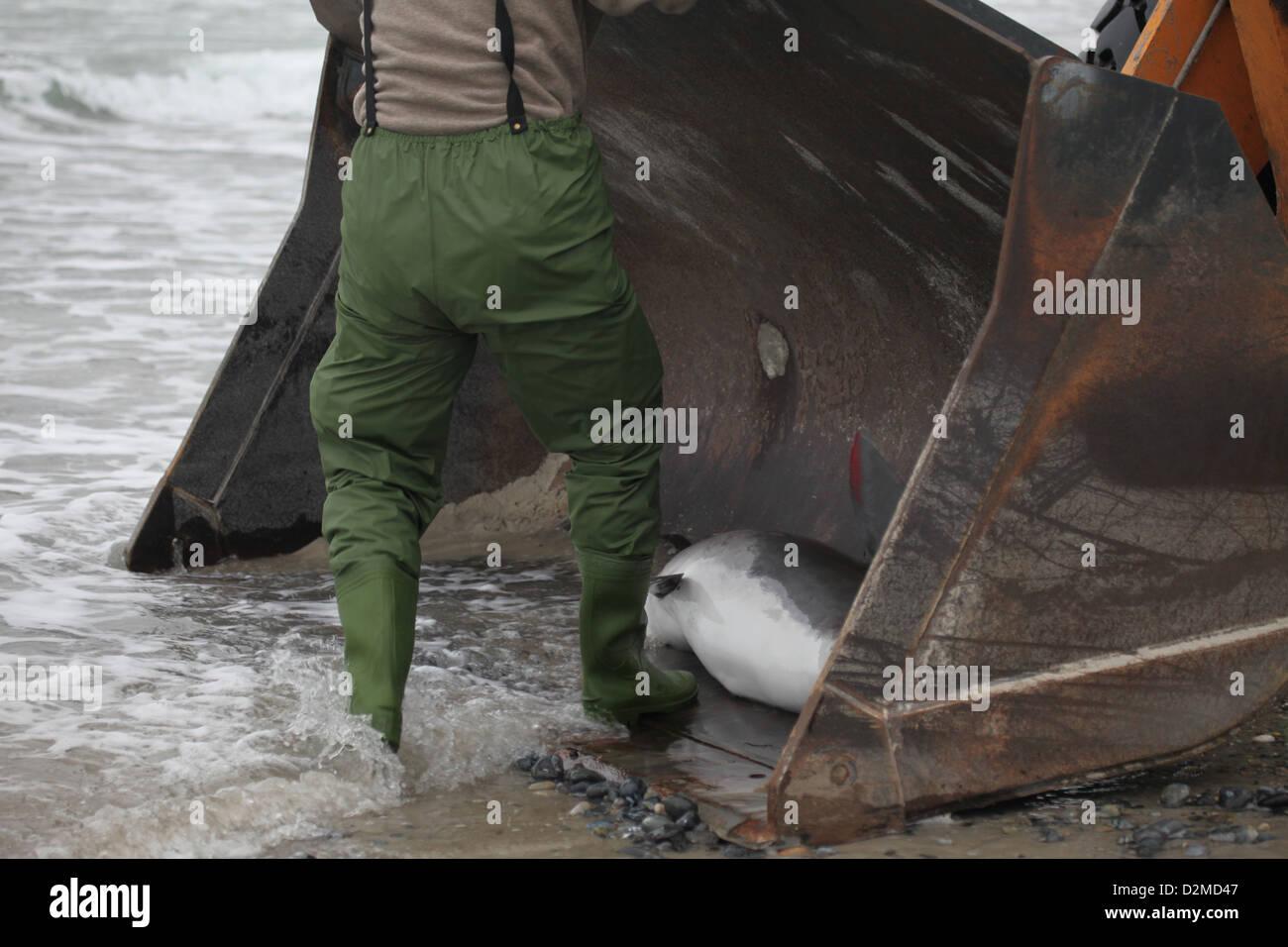A life-stranding of a juvenile harbour porpoise, Phocoena phocoena, Helgoland, North Sea - Stock Image