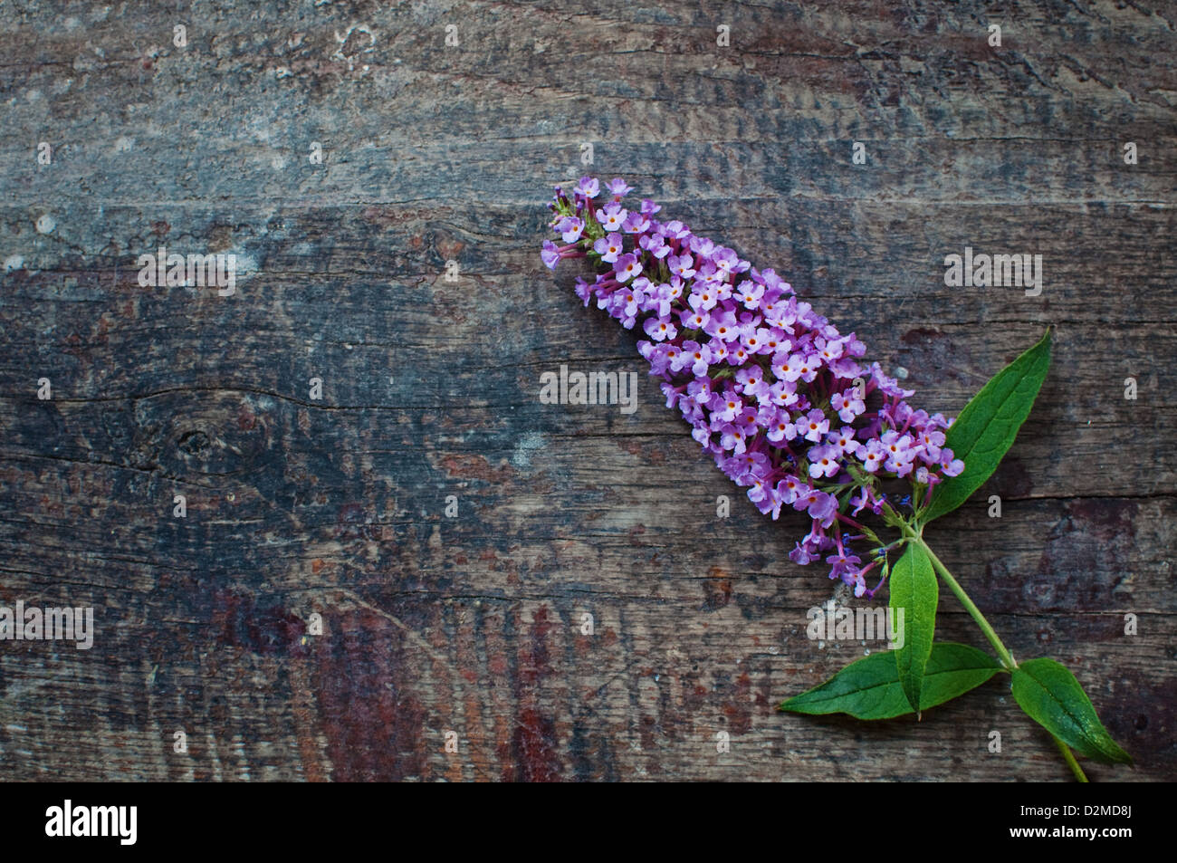 Beautiful lilac flower over a grungy wooden background - Stock Image