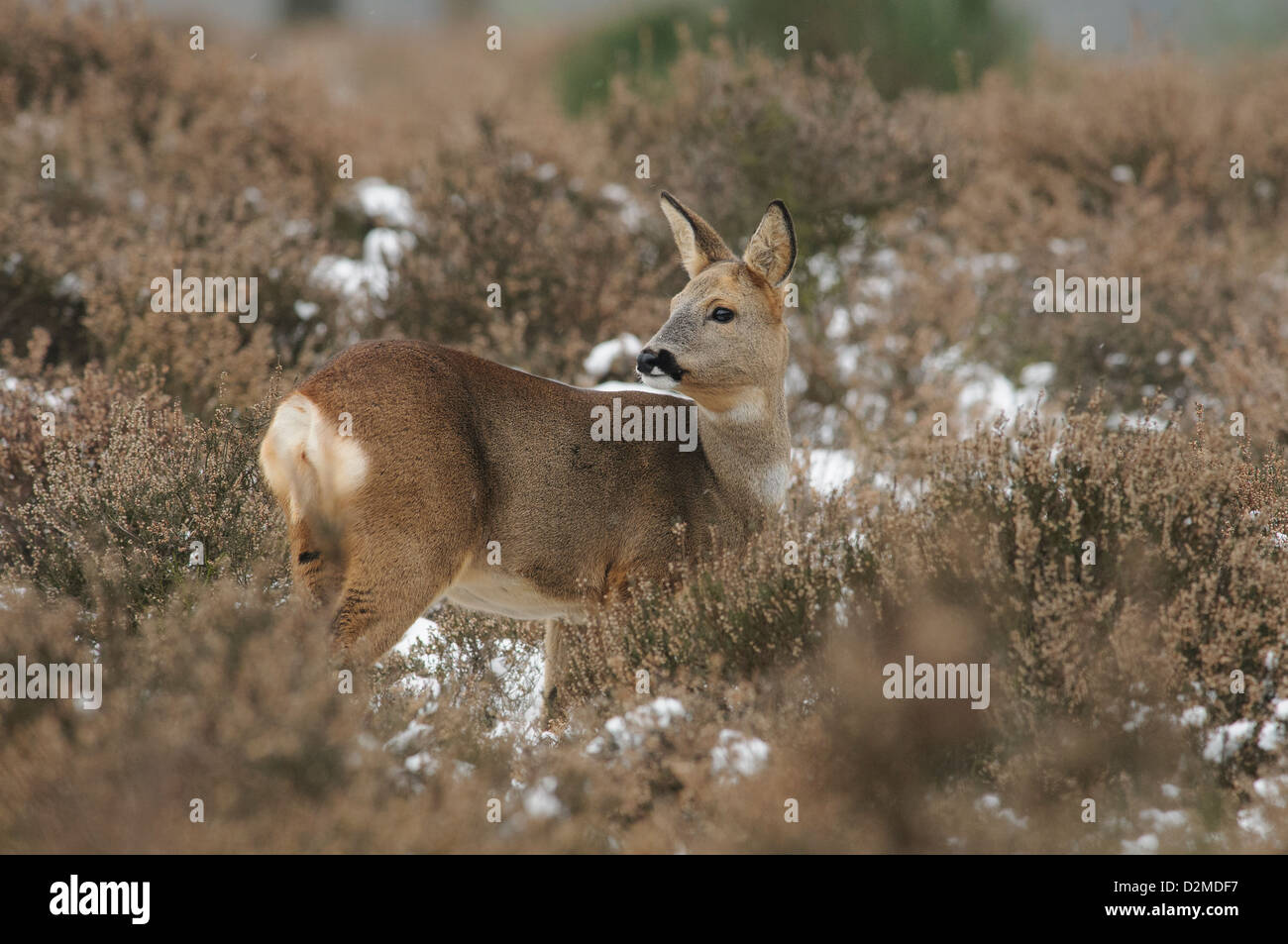 Roe deer in the snow Stock Photo