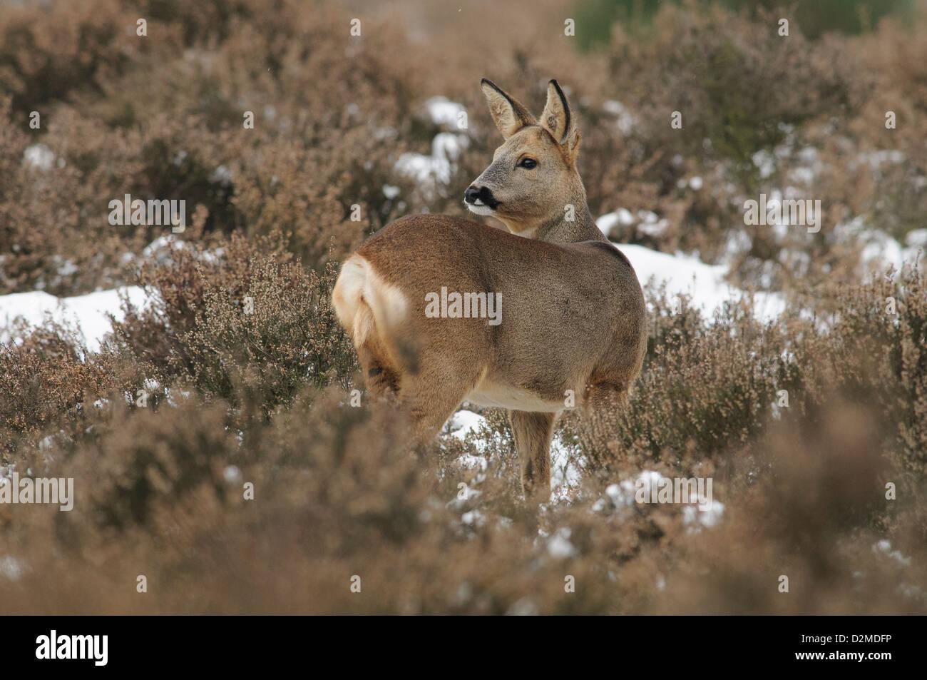 Roe deer in the snow - Stock Image