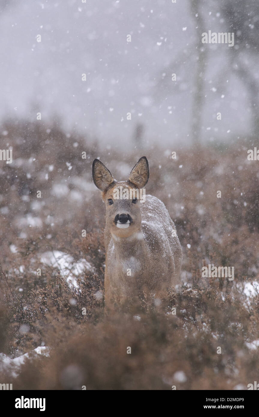 Roe deer with falling snow flakes - Stock Image