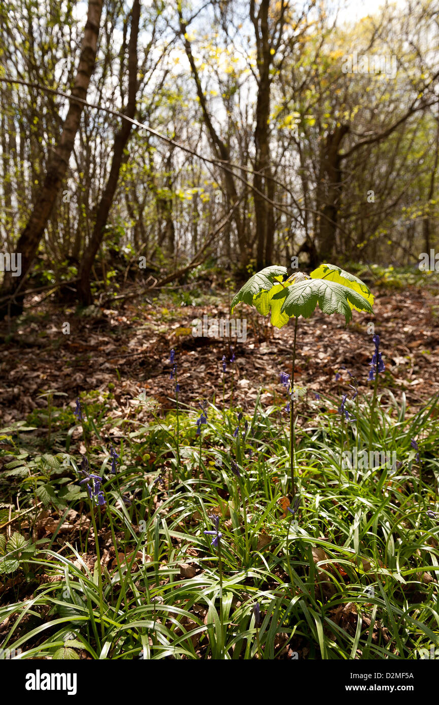 Sprout new growth of wind blown tree seed sycamore in morning amongst bluebells moss grass colonizing the area thicket - Stock Image