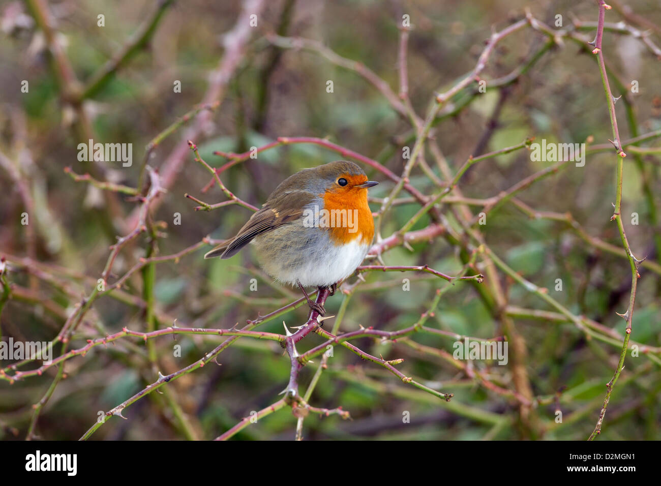 Robin Erithacus rubecula on branch in Hedgerow Stock Photo