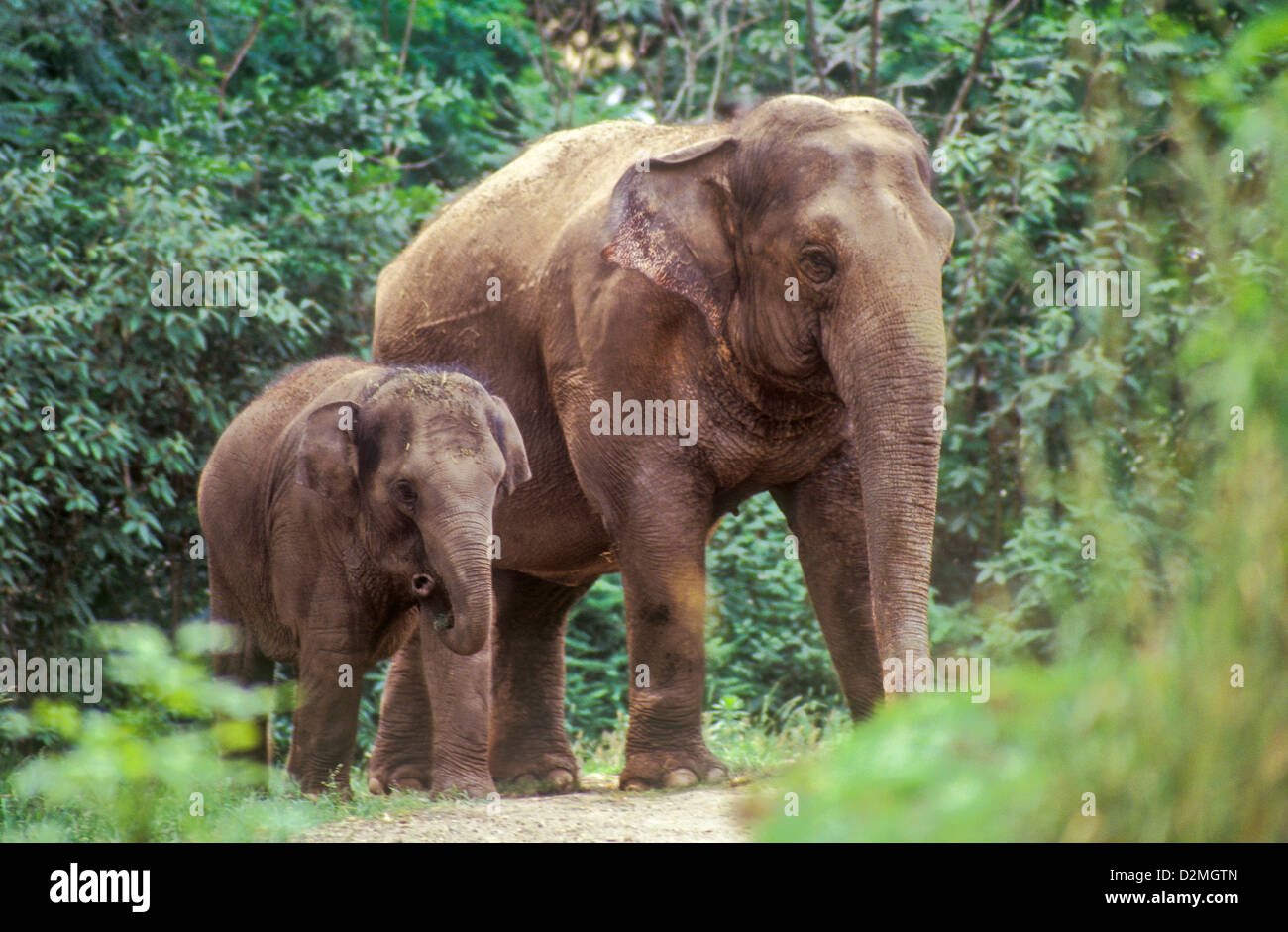 A baby elephant walking with it's mother. - Stock Image