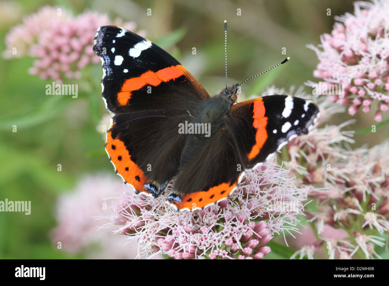 Red admiral butterfly (vanessa atalanta), dorsal view, foraging on a pink flower in summer - Stock Image