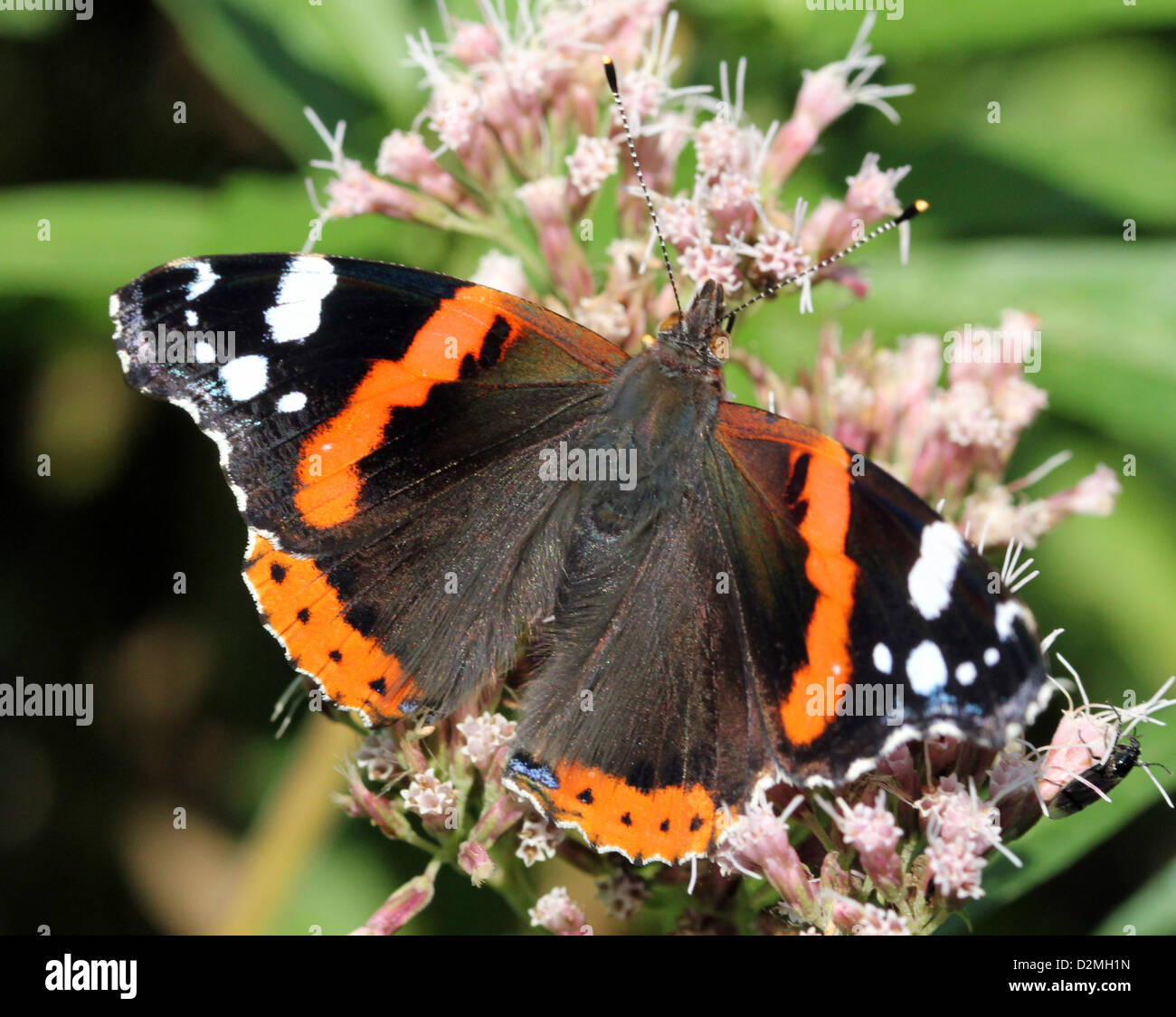 Red admiral butterfly (vanessa atalanta) dorsal view, feeding on a hemp agrimony flower - Stock Image