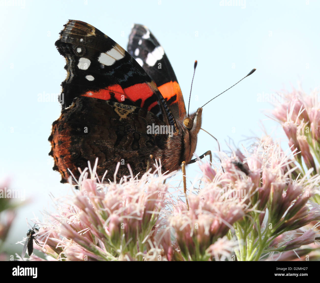 Red admiral butterfly (vanessa atalanta) feeding nectar in summer, against a blue background - Stock Image