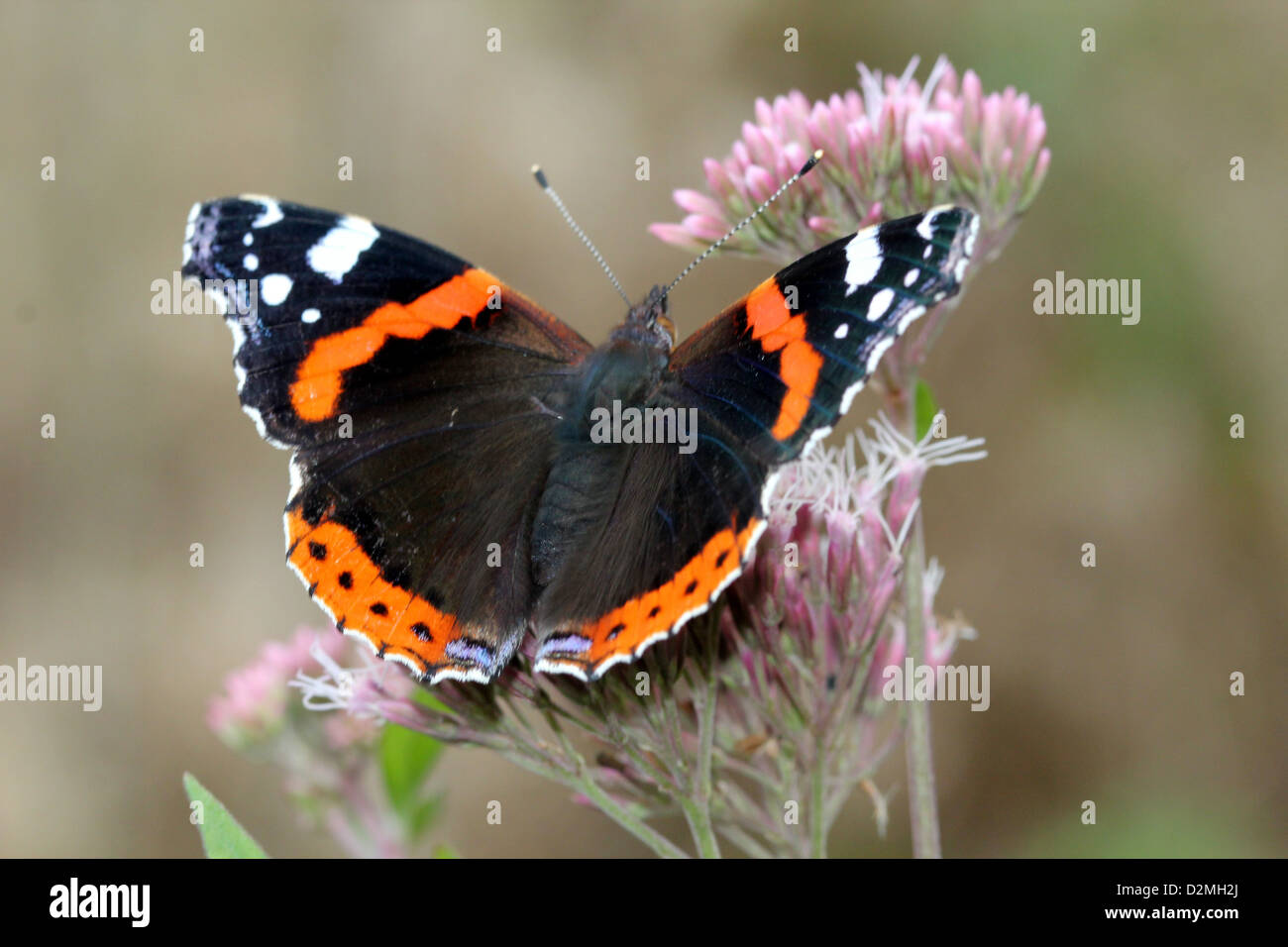 Red admiral butterfly (vanessa atalanta) - Stock Image