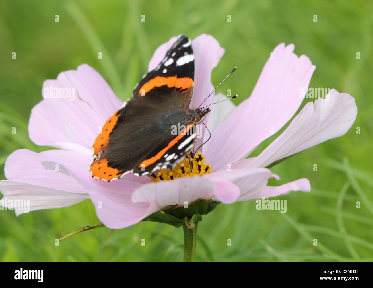 Red admiral butterfly (vanessa atalanta) on a giant pink flower in summer - Stock Image