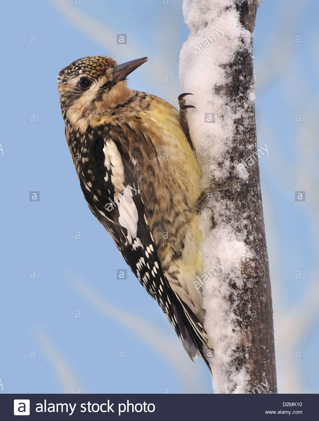 A Juvenile Yellow Bellied Sapsucker Sphyrapicus Varius On Snowy Branch In Eastern
