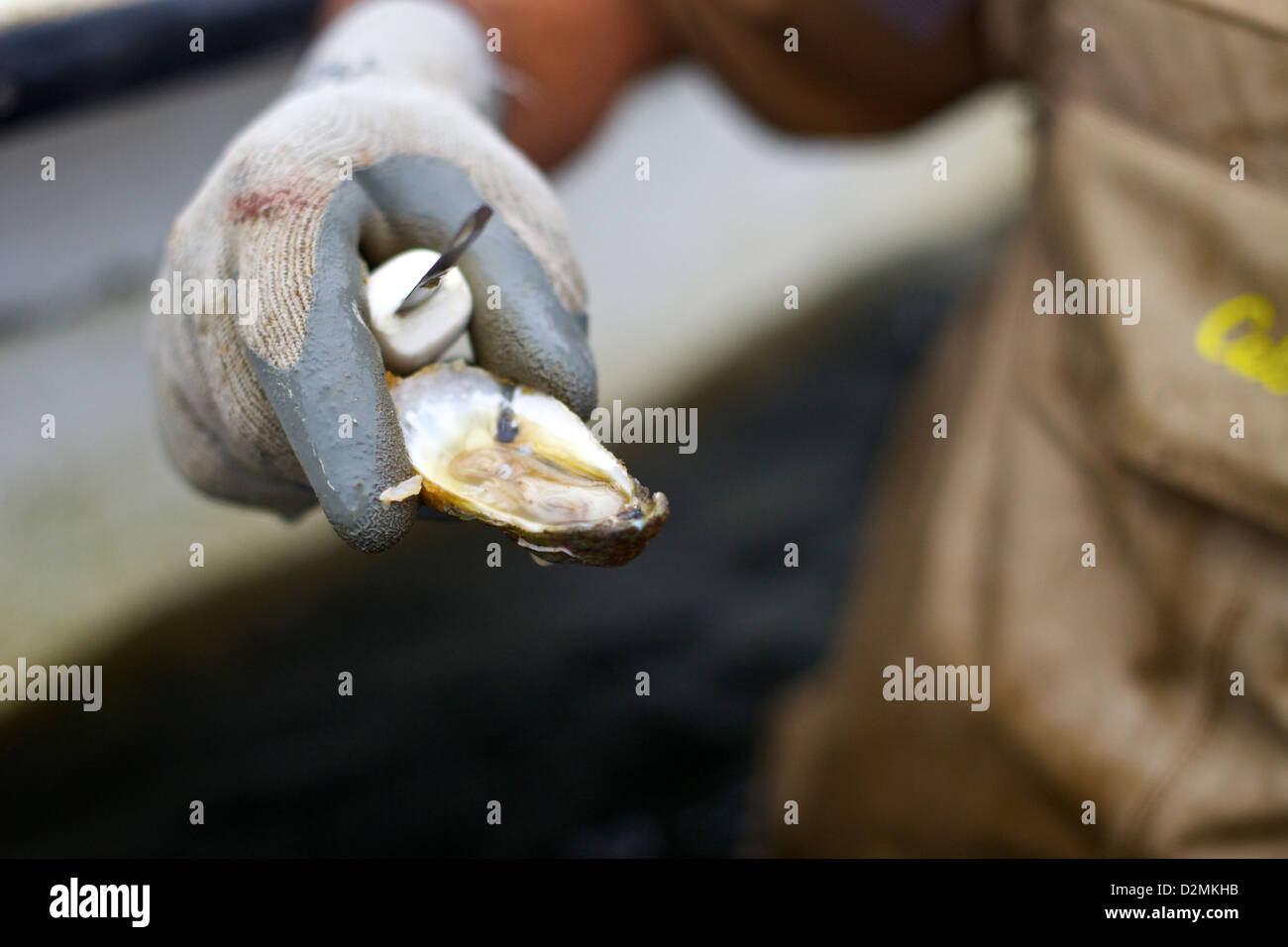 An oyster farmer holds out a freshly harvested oyster, ready to be slurped down. - Stock Image