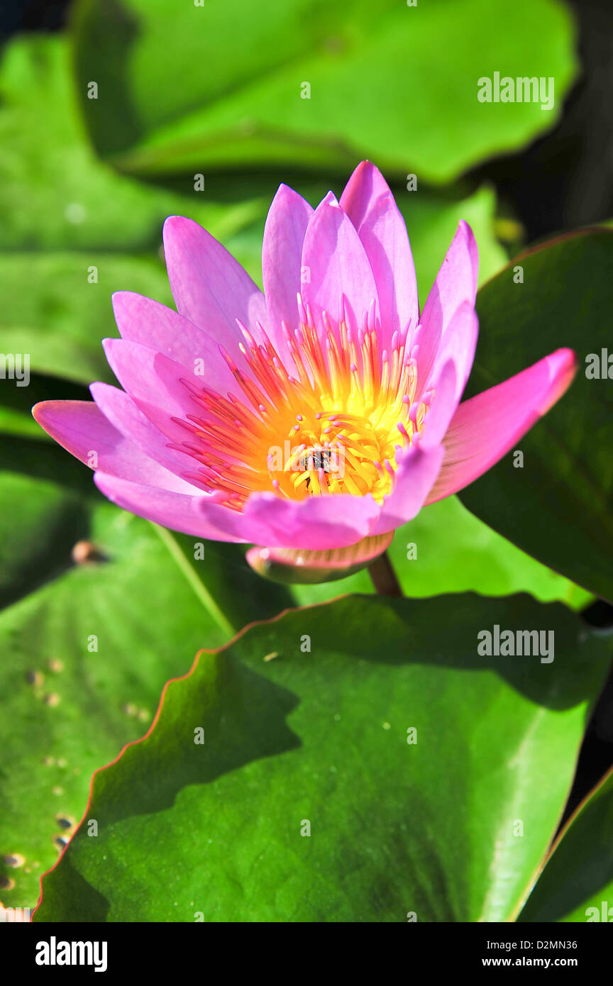 The top view of pink lotus stock photo 53316010 alamy the top view of pink lotus izmirmasajfo