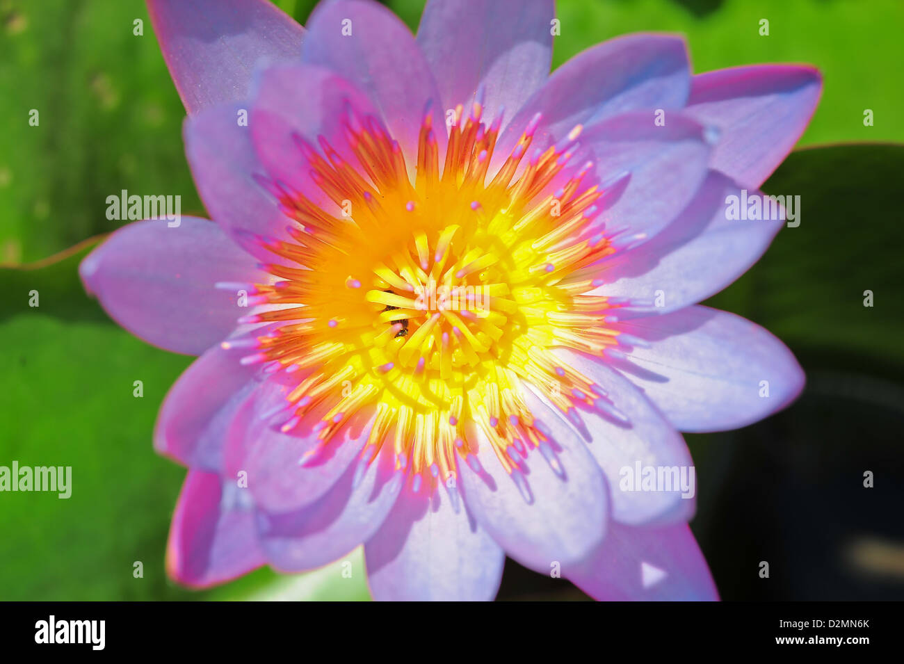 The top view of beautiful pink lotus in pond stock photo 53316107 the top view of beautiful pink lotus in pond izmirmasajfo
