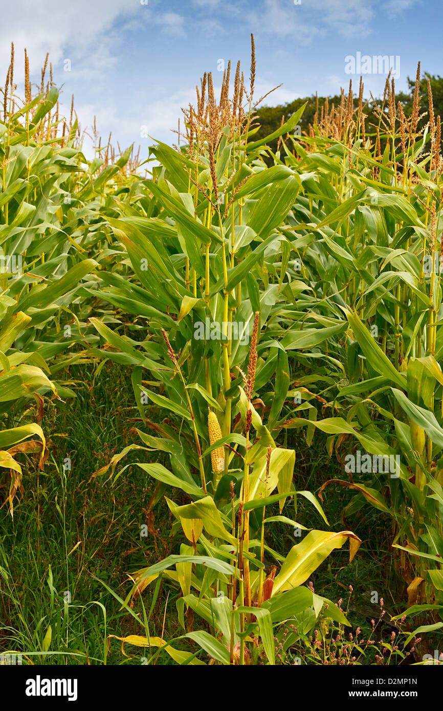Cattle food crop used for silage on farms for cattle over the winter and alternatively been used for creating biomass - Stock Image