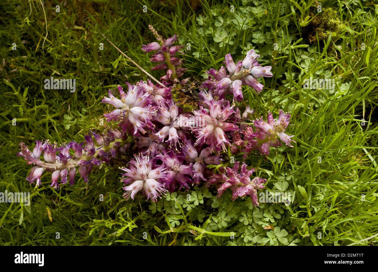 An uncommon bulbous plant (Lachenalia unicolor) South Africa - Stock Image