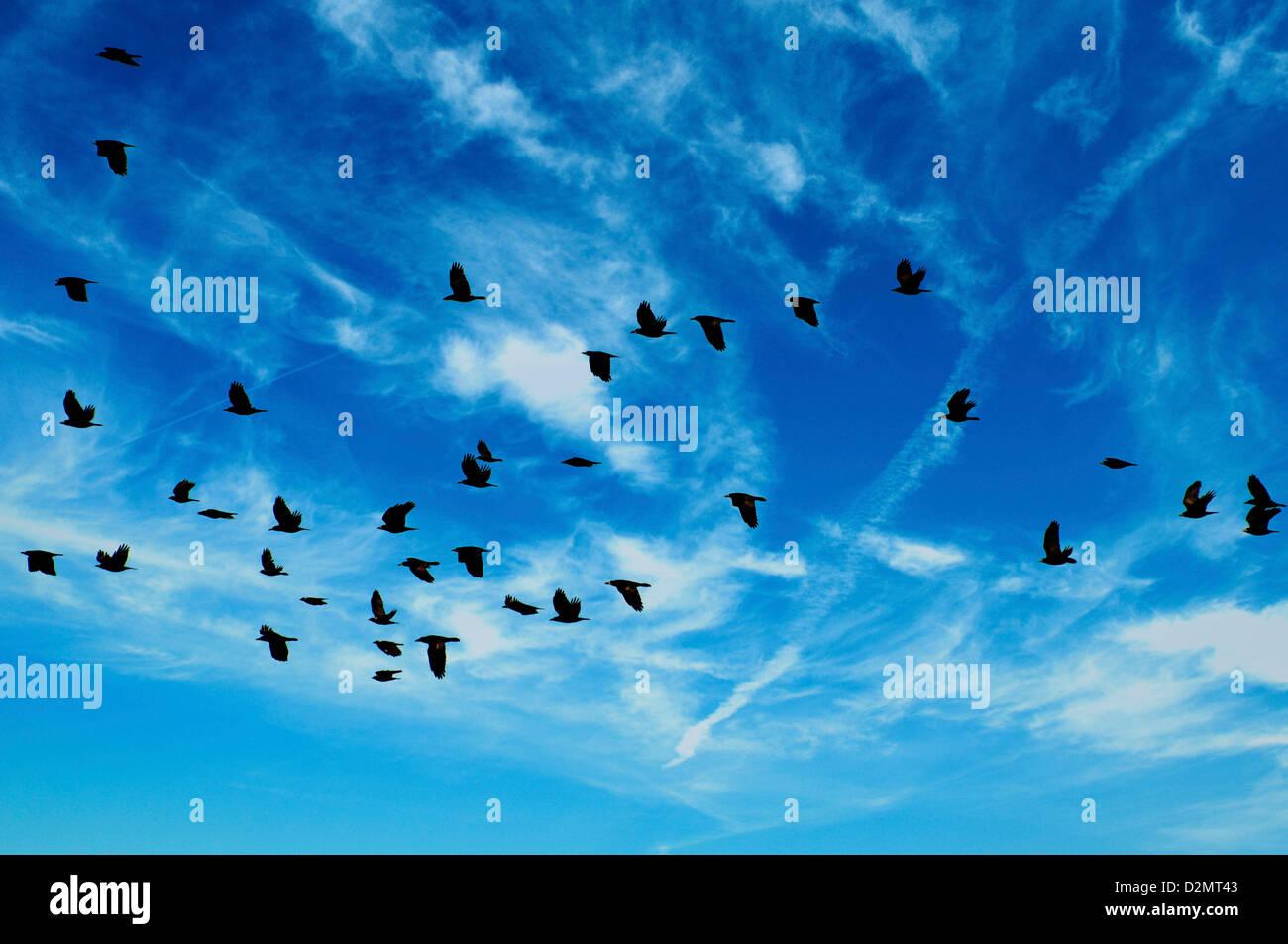 flock of birds flying - Stock Image