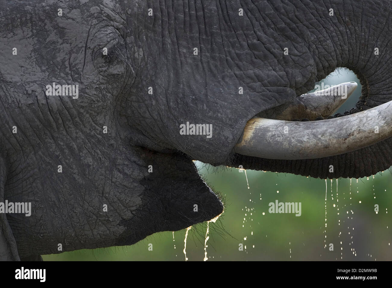 African elephant drinking, Botswana, Chobe National Park, from the side, side view, loxodonta africana - Stock Image