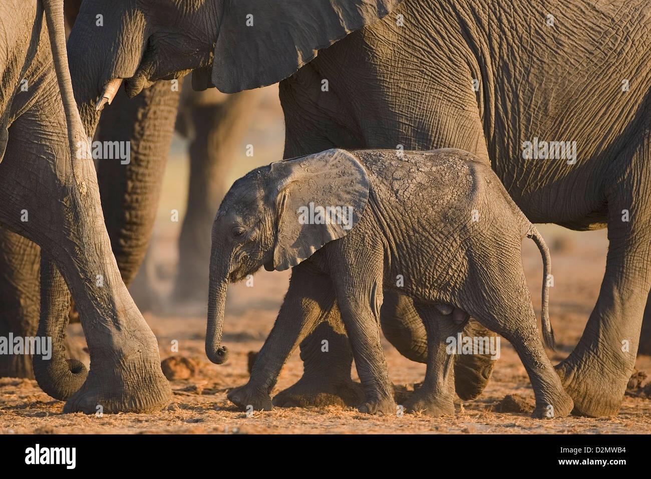 African elephant and young, Loxodonta africana, Chobe National Park, Botswana - Stock Image