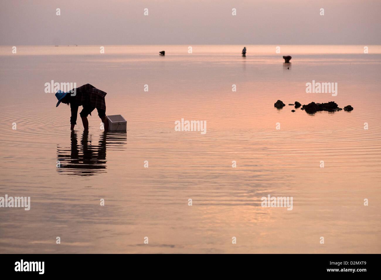 Clam picking on Koh Phangan island , Thailand Stock Photo