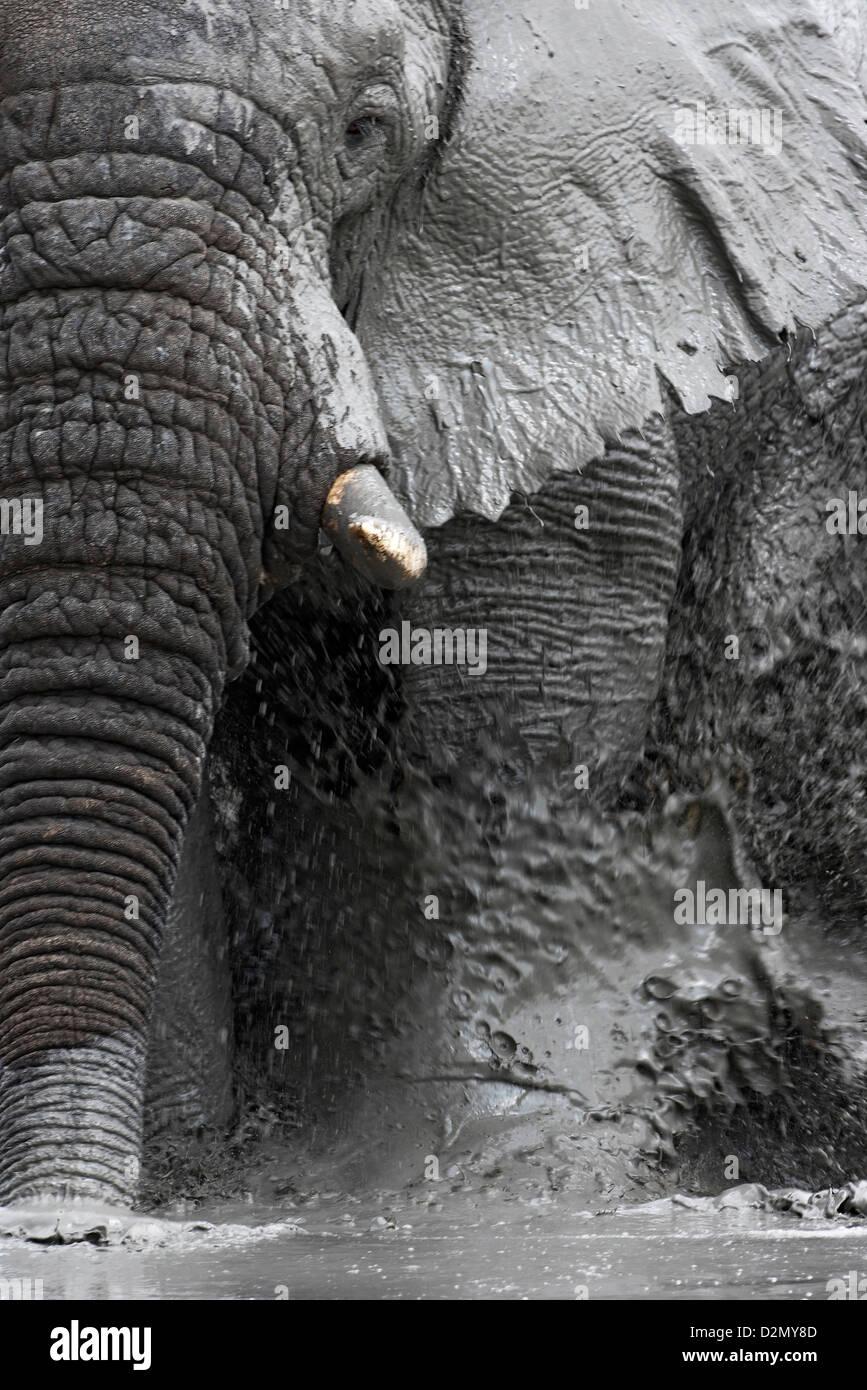 African elephant in the mud, having a mud-bath, muddy, Botswana, Savute, Chobe National Park - Stock Image