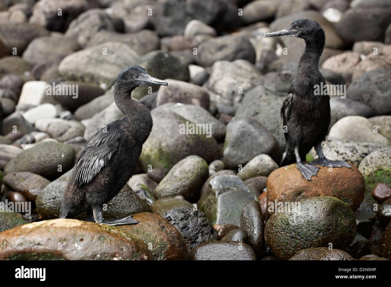 Flightless Cormorant, Phalacrocorax harrisi, Isabela Island, Galapagos Islands, Ecuador - Stock Image