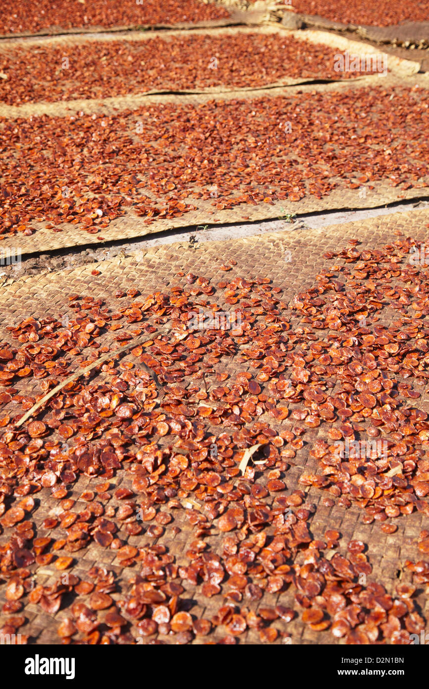 Betel nut drying in the sun, Kampong Cham, Cambodia, Indochina, Southeast Asia, Asia - Stock Image