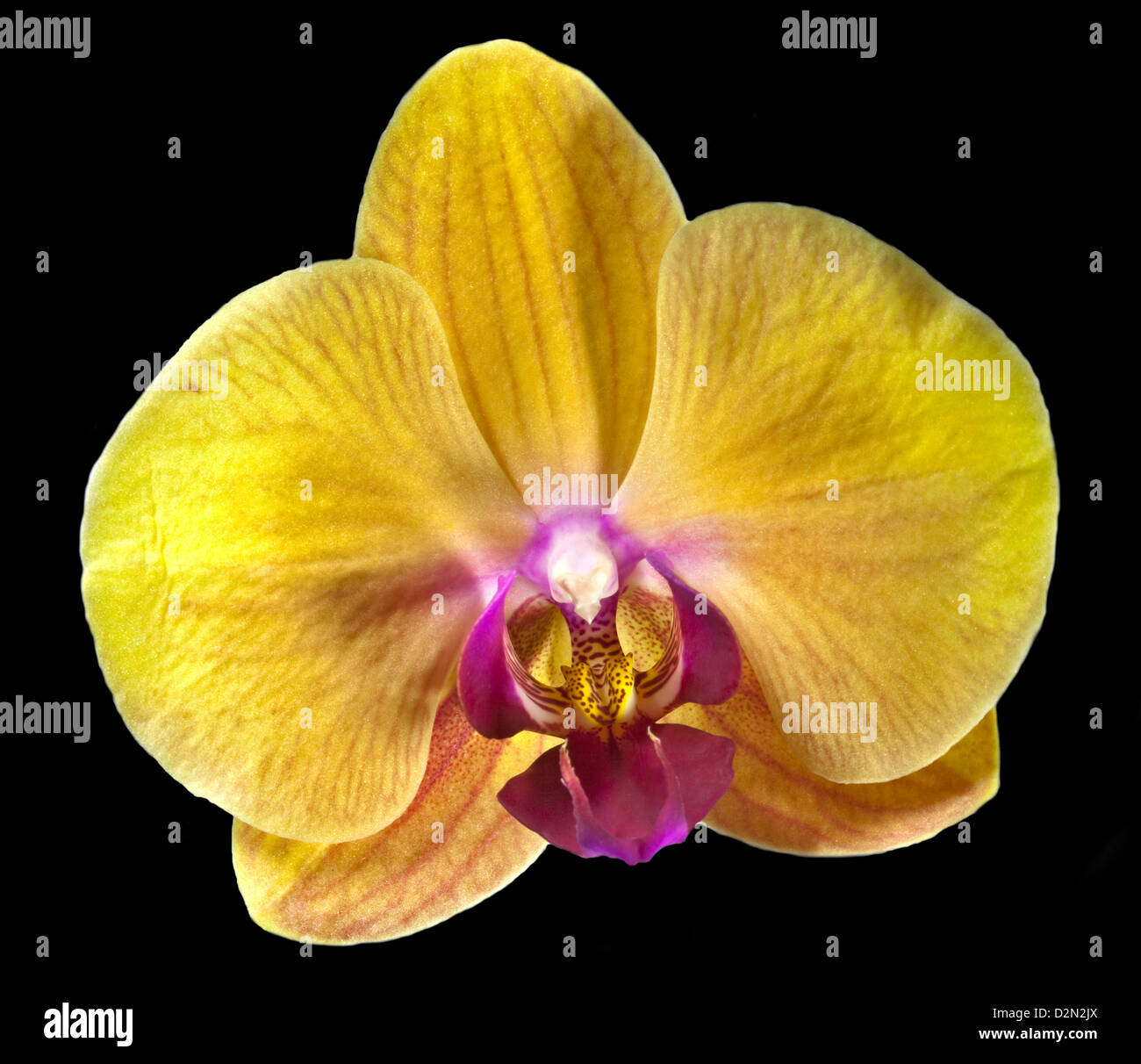 yellow phalaenopsis orchid moth orchid on black stock photo