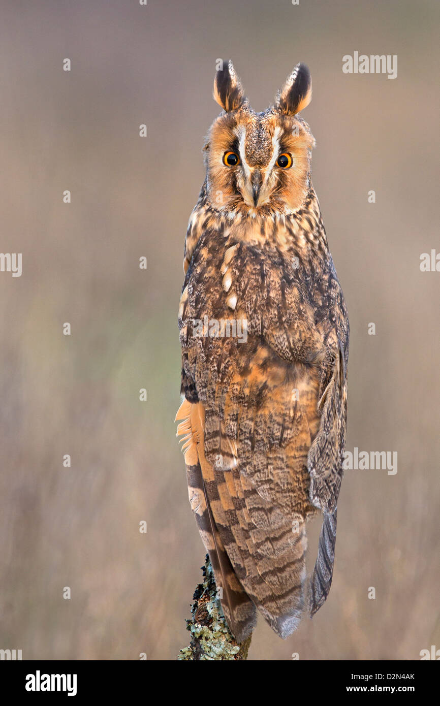 Long-eared Owl on perch in field - Stock Image