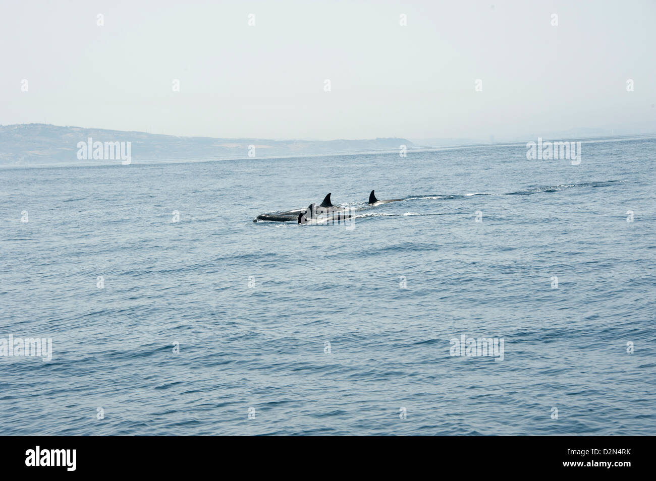 Orcas in the Straits of Gibraltar, Europe - Stock Image