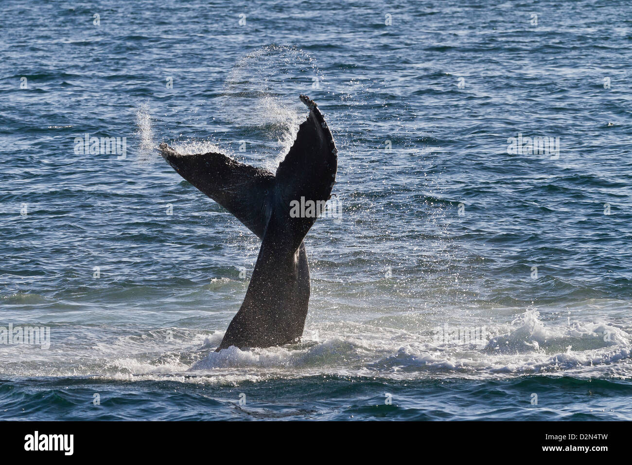 Humpback whale (Megaptera novaeangliae) tail slap, Gulf of California (Sea of Cortez), Baja California Sur, Mexico Stock Photo