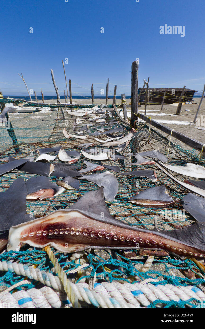 Shark fins drying in the sun, Gulf of California (Sea of Cortez), Baja California Sur, Mexico, North America - Stock Image
