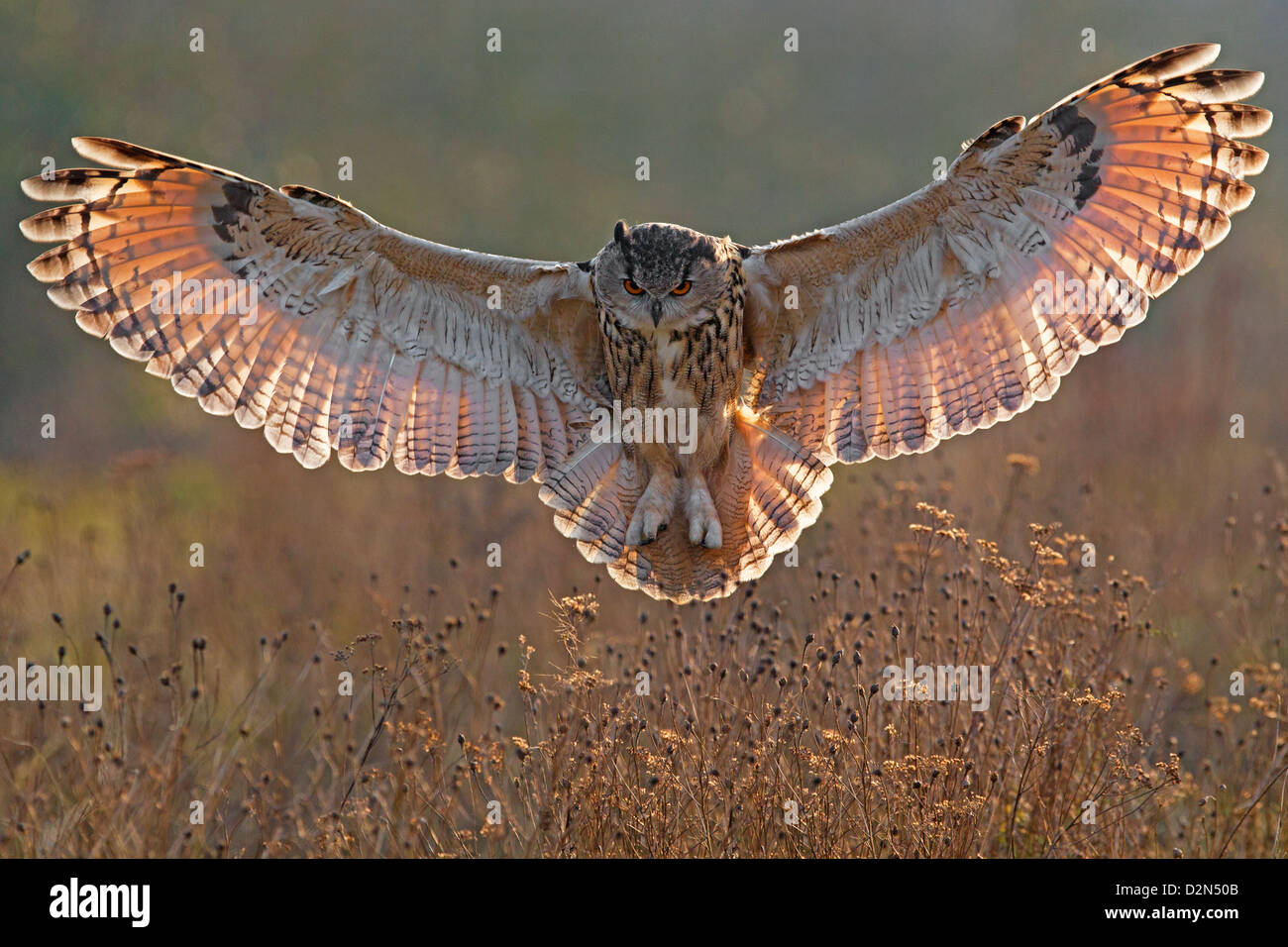 owl with wings spread  European Eagle Owl with wings spread, backlit Stock Photo: 53325339 ...