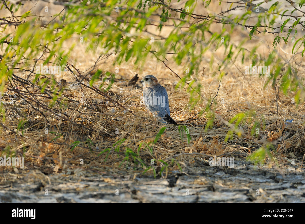 Merlin, a critically endangered bird in Little Rann of Kutch, Gujarat, India, Asia - Stock Image